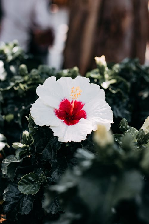 A Beautiful White Hibiscus on Garden