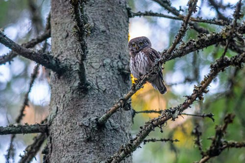 Pygmy Owl Perched on Tree Branch