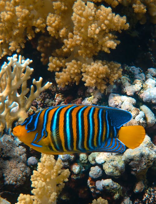 Blue and Yellow Fish Near Corals