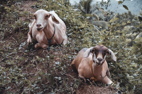 Brown and White Goat on Brown and Green Grass