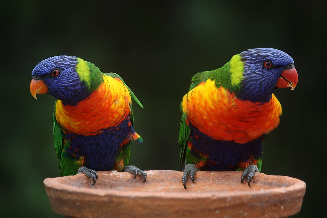 Blue Geeen and Orange Parrot