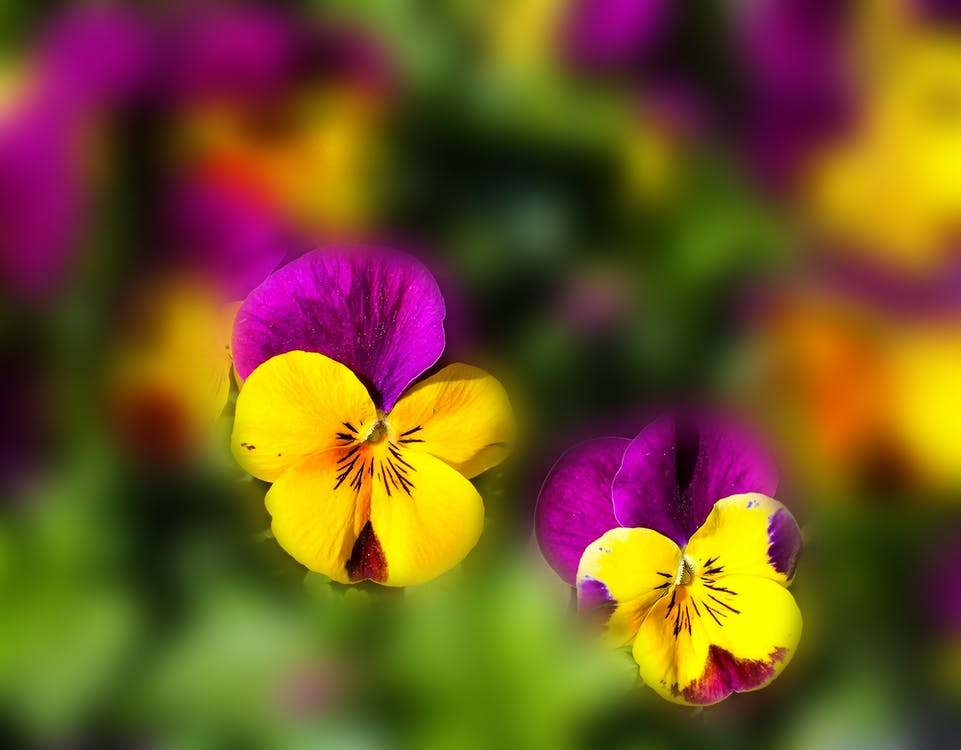 Yellow Purple Flower