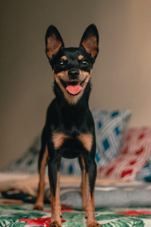 Fotos de stock gratuitas de animal, animal domestico, Doberman Pinscher, doméstico