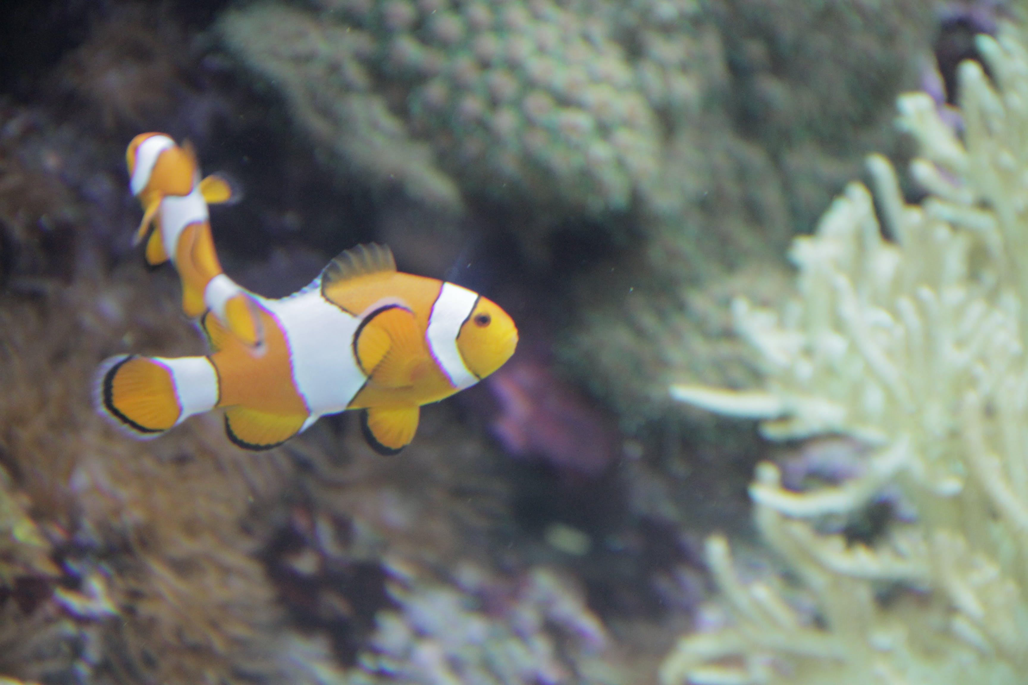 Free stock photo of Clown fish, clownfish, coral fish, fish