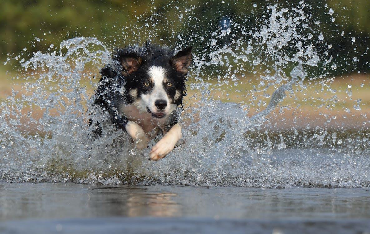 Black White Long Coated Dog Dashing Trough Body of Water