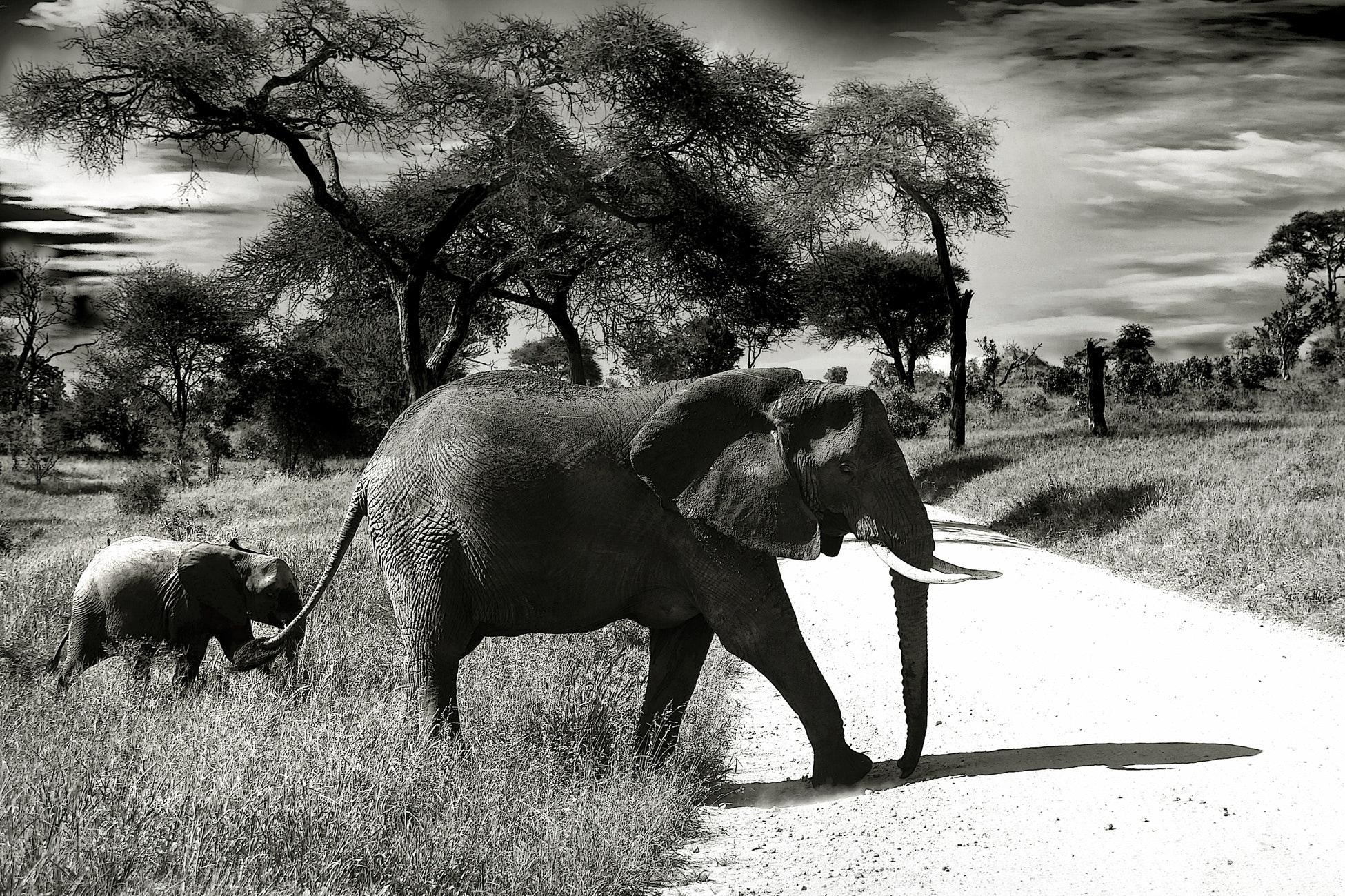 elephant mother and child black and white photography  u00b7 free stock photo