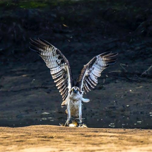 Photo of Osprey Flying