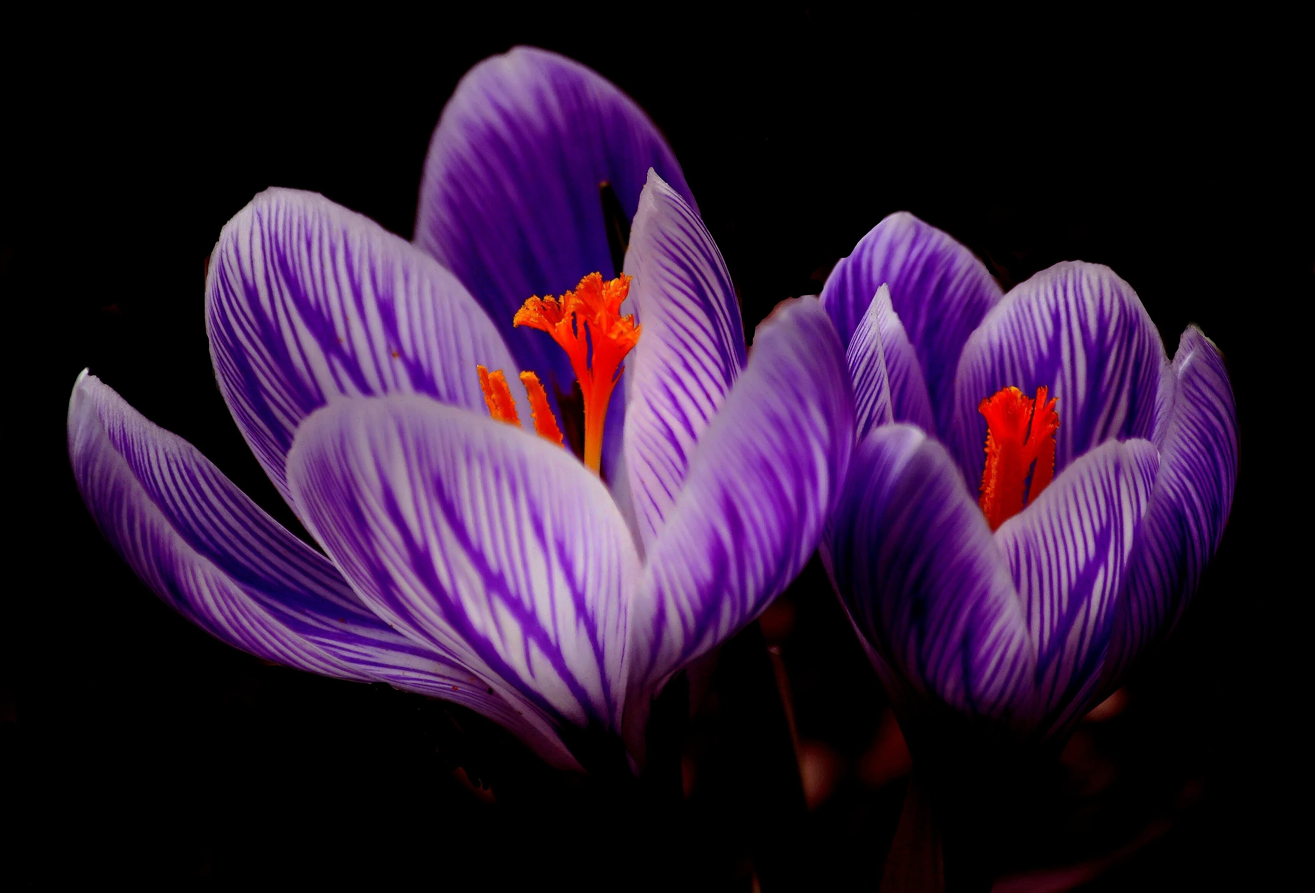 Purple Petal Flowers in Black Background