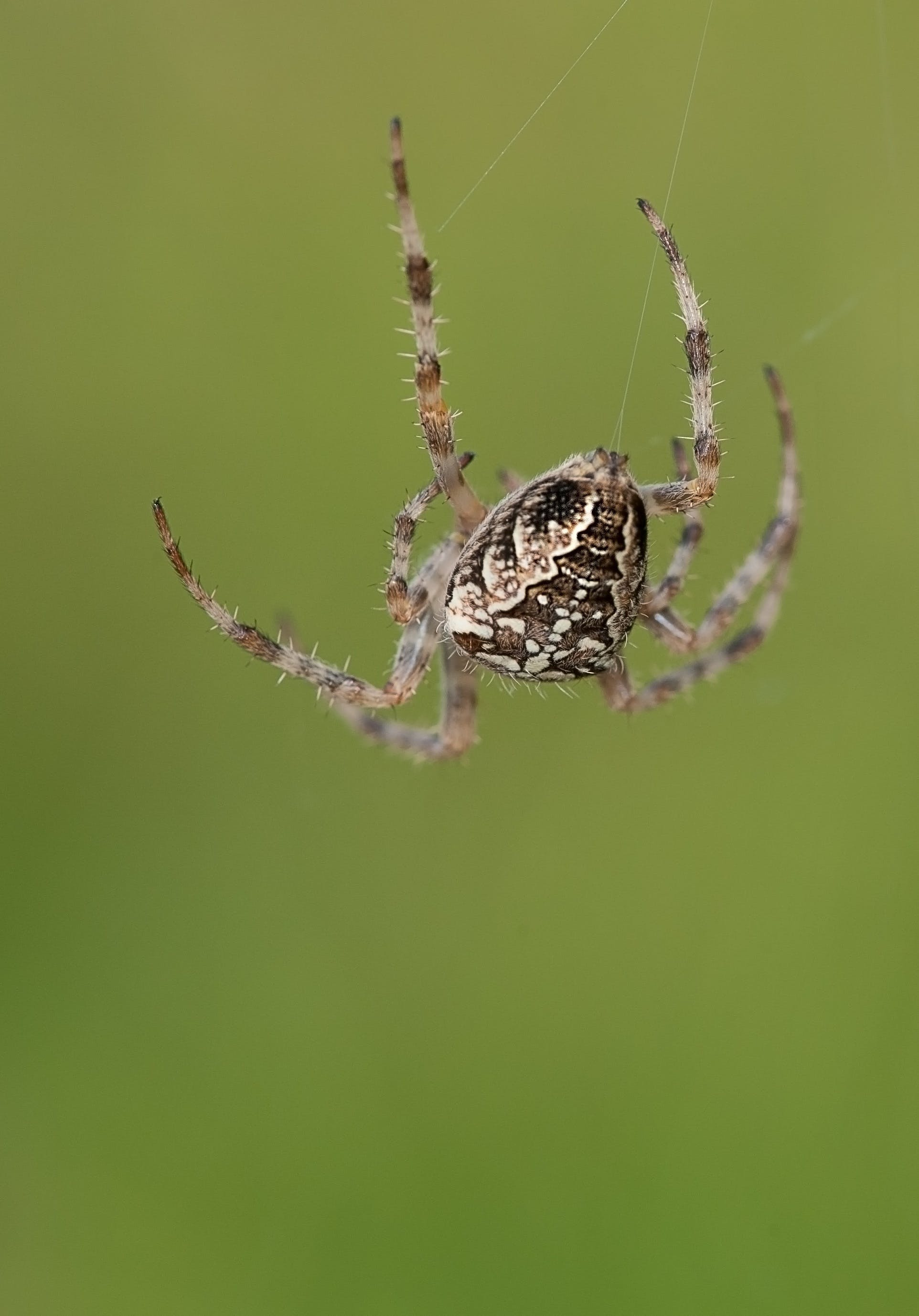Brown and White Spider Hanging on Its Web