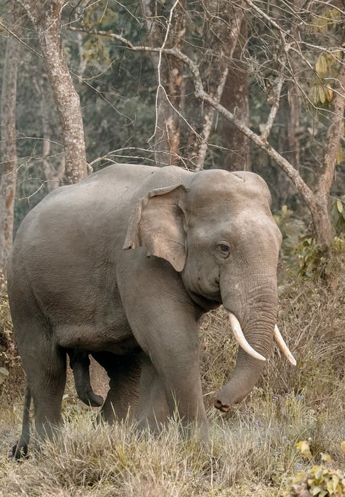 Grey Elephant Walking on Forest