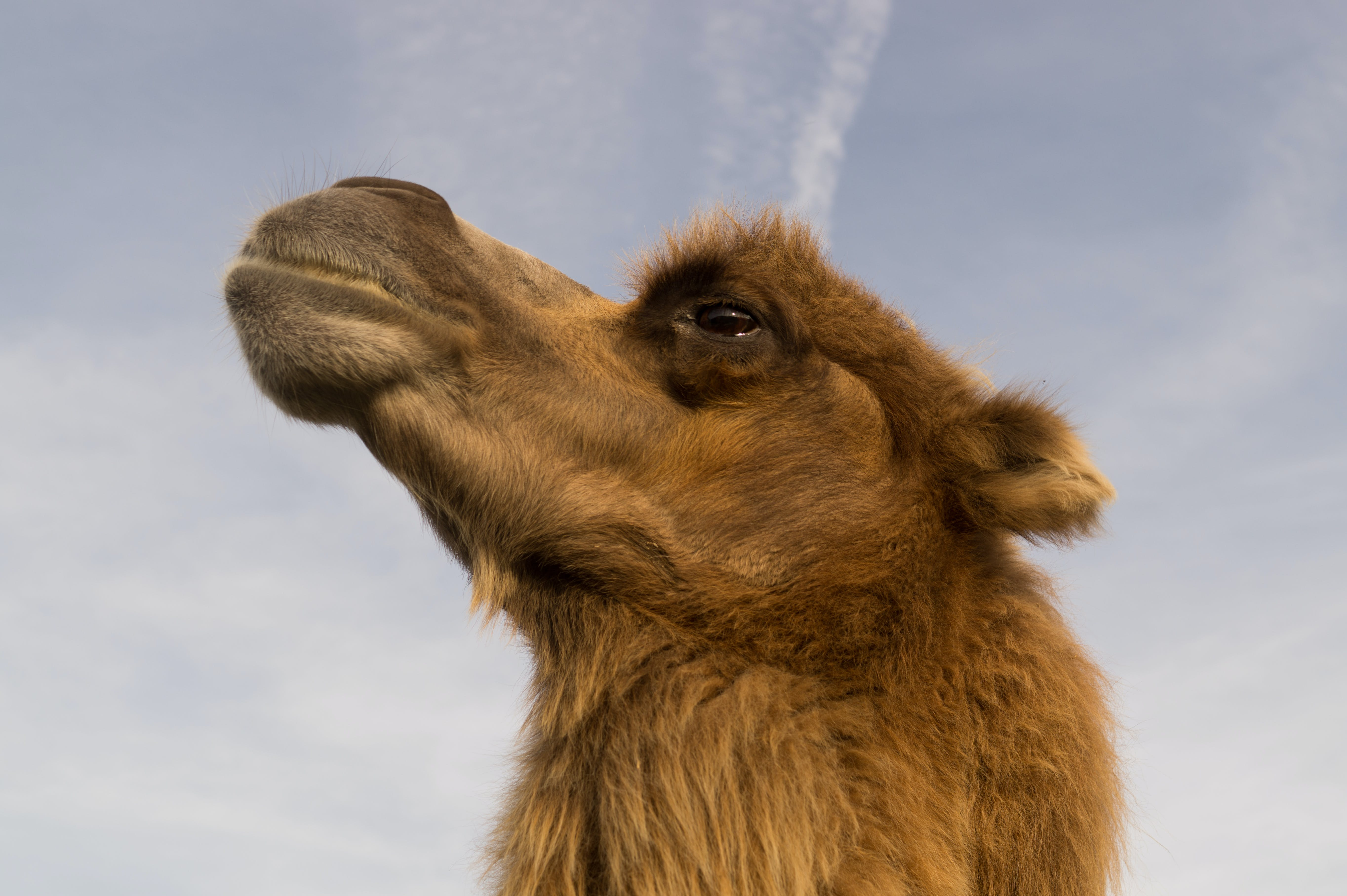 Shallow Focus Photography of Camel