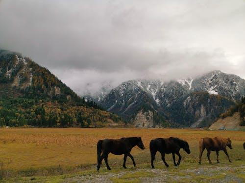 Free stock photo of grassland, horses, mountains