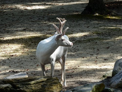 From above of curious caribou with white wool and wavy horns standing near big stones covered with moss while looking away in daylight