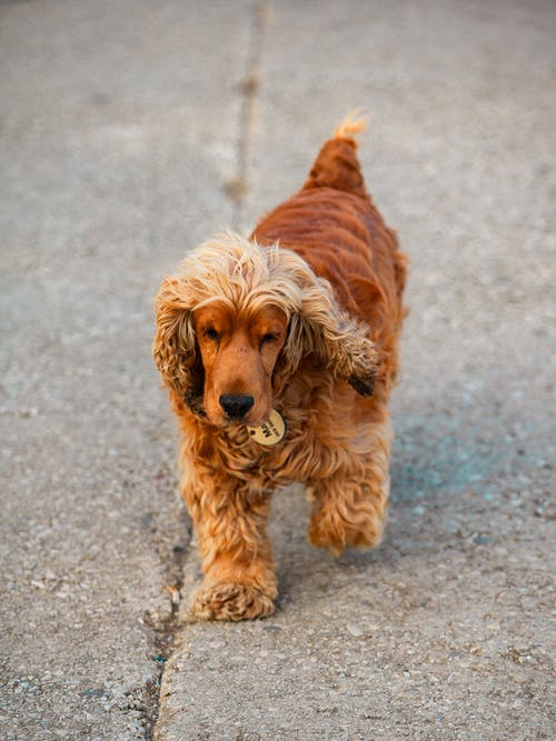 Brown Long Coated Small Dog Walking on Pavement