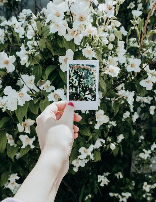Person Holding Instant Photo Near White Flowers