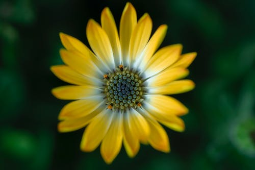 Yellow Daisy in Bloom