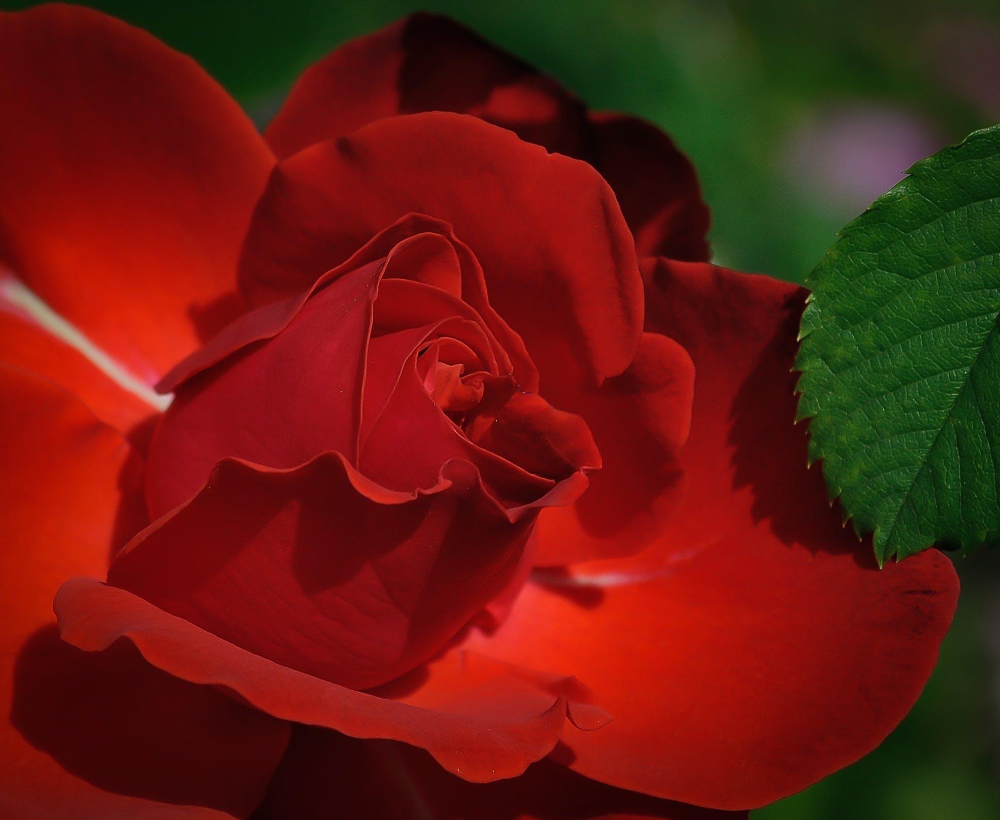 Red Rose Beside Green Leaf