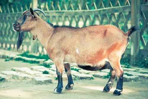 Ảnh lưu trữ miễn phí về chụp ảnh động vật, con dê, con vật, loài vật
