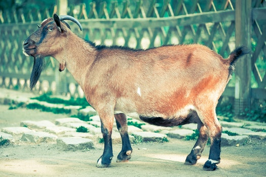 Brown and Black Goat With Horn Standing Near Fence