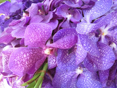 Free stock photo of orchid, purple flowers