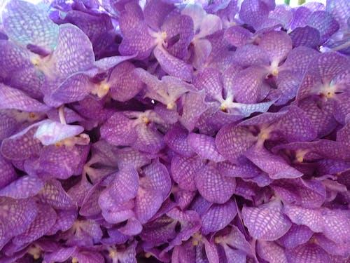 Δωρεάν στοκ φωτογραφιών με μοβ άνθη, ορχιδέα