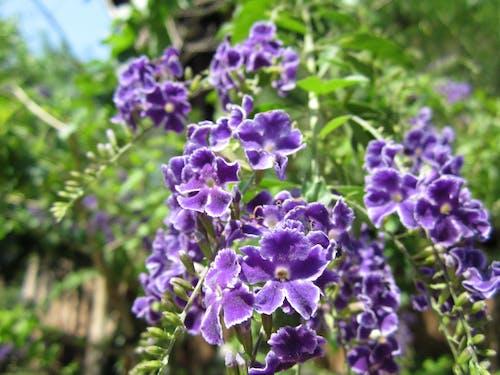 Δωρεάν στοκ φωτογραφιών με μοβ άνθη