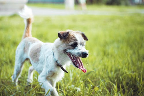 White and Brown Short Coated Dog Running on Green Grass Field