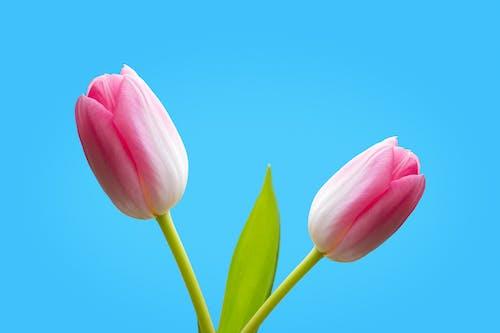 Pink Tulip in Bloom