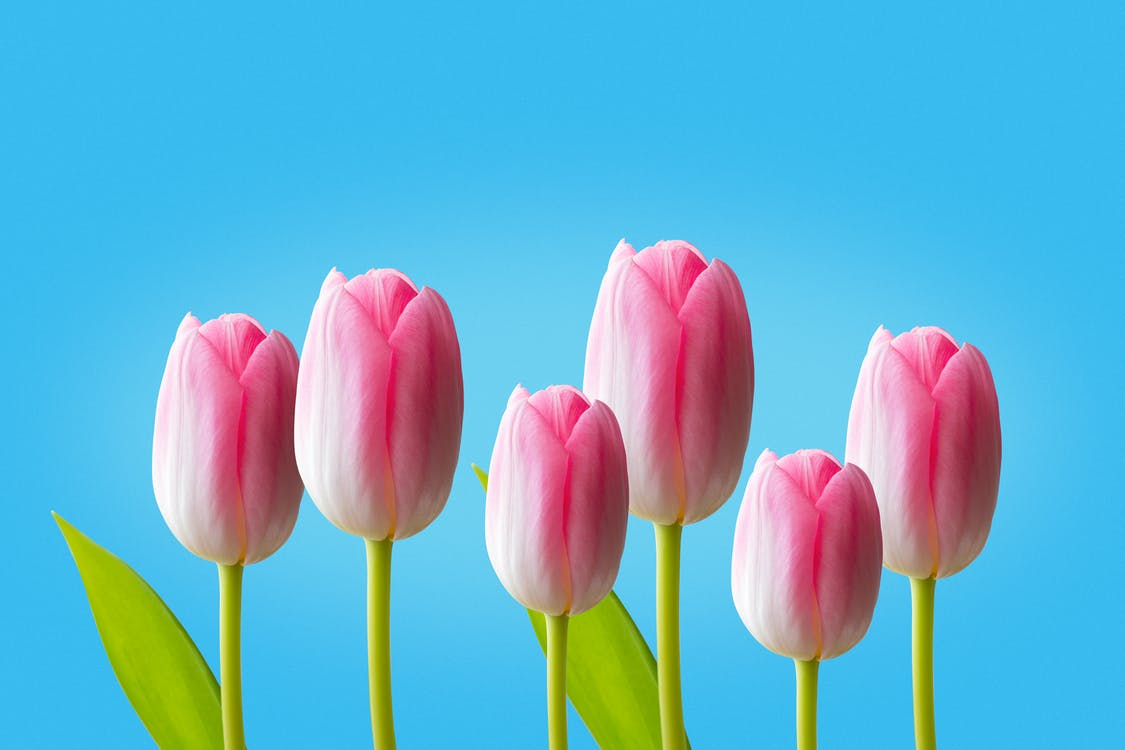 Pink Tulips Against Blue Background