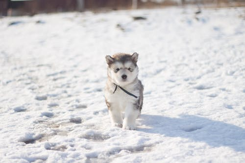 White and Black Siberian Husky Puppy on Snow Covered Ground
