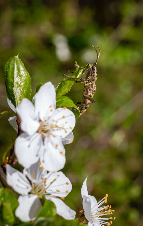 Brown Beetle Perched on White Flower