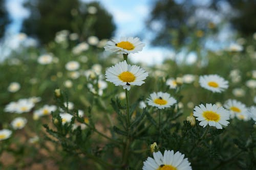 Free stock photo of daisy, flowers, insects