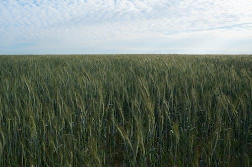 Free stock photo of crop, farm field, field