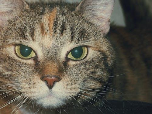 Безкоштовне стокове фото на тему «кішка, кошеня, очі, тварина»