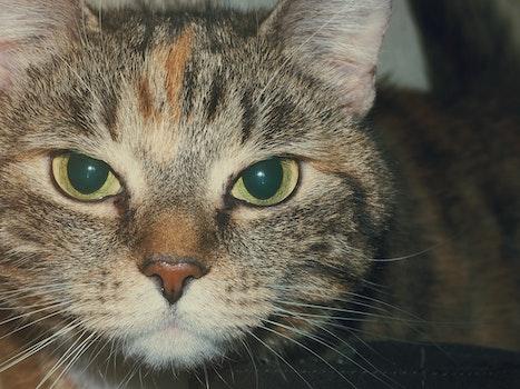 Free stock photo of animal, pet, eyes, fur