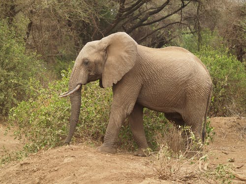 Small gray elephant with pointed tusks and long trunk strolling on dry sandy hills near shrubs and trees in daylight