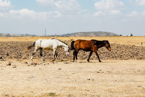 Brown and White Horses on Brown Field