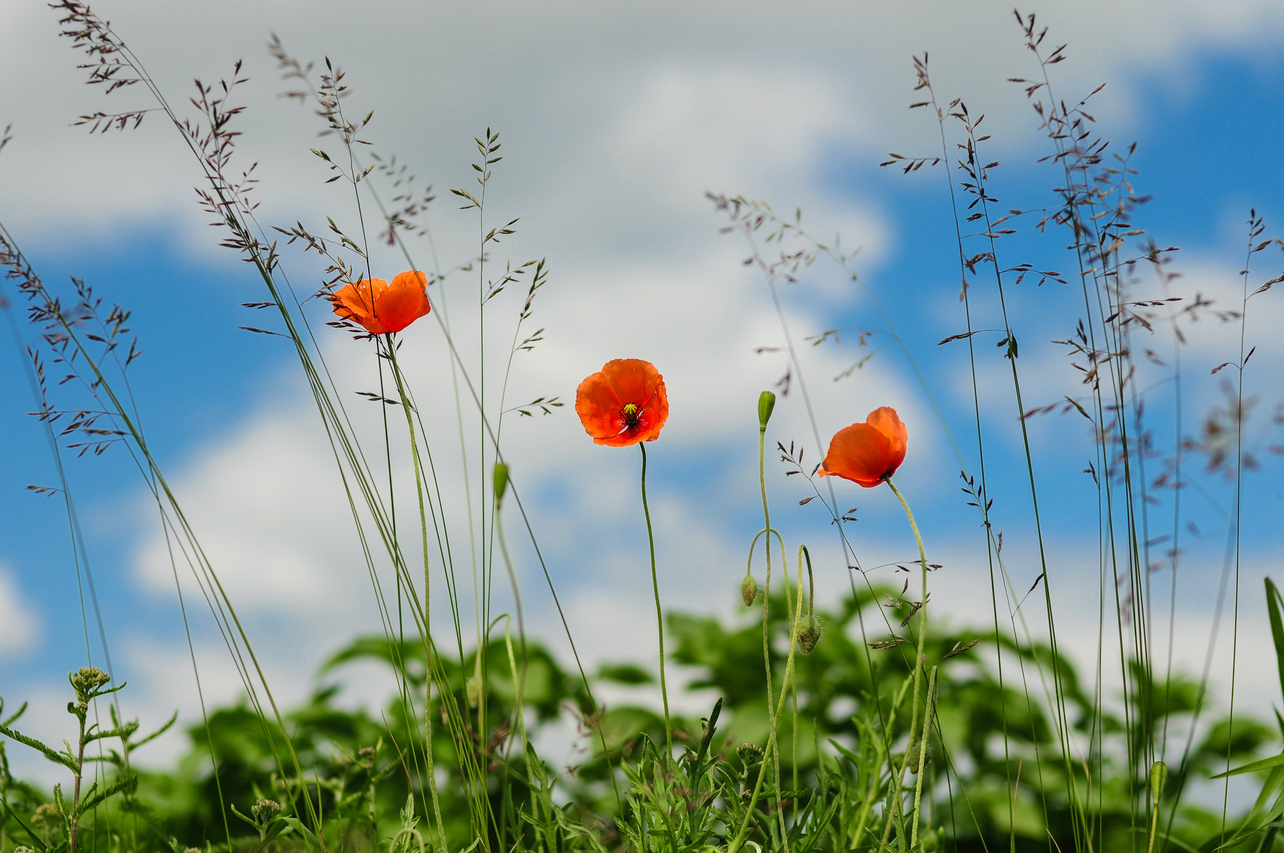 Free stock photo of meadow, flower, poppy, wild poppies
