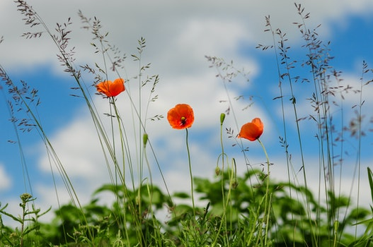 Free stock photo of meadow, flower, poppy, wild poppies