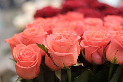 Close-Up Photo of Pink Roses