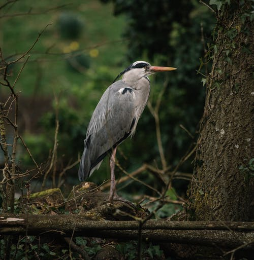 Grey Heron Perched on Brown Tree Branch