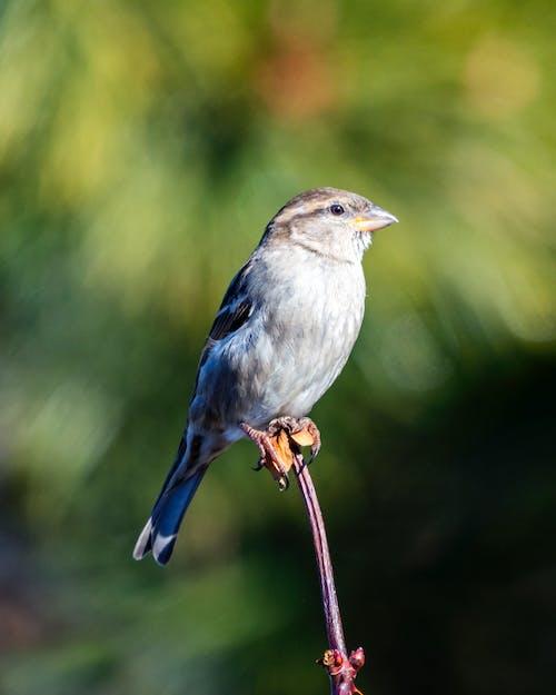 Kostnadsfri bild av fågel, sparv