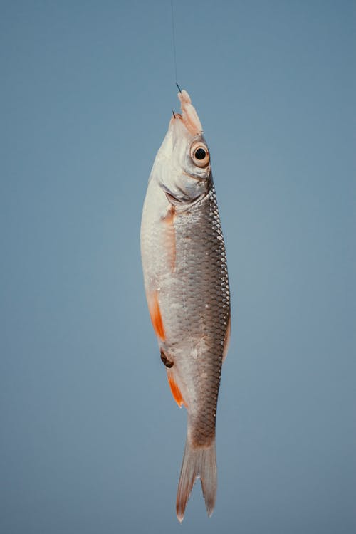 Freshly caught fish with silver scales on blue background