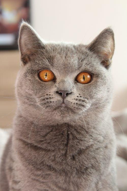 Russian Blue Cat in Tilt Shift Lens