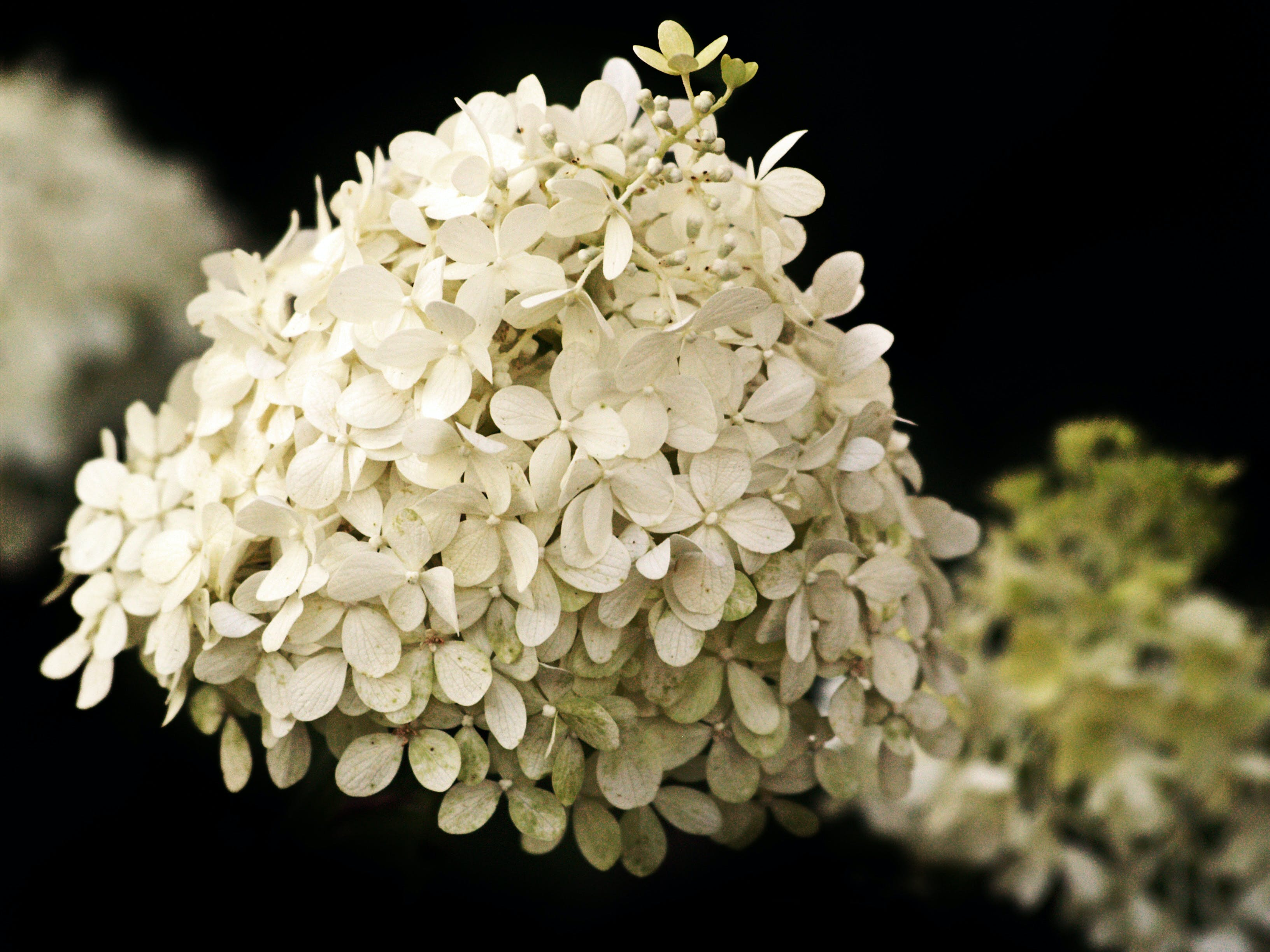 Free stock photo of flowers, hydrangea, plants, white