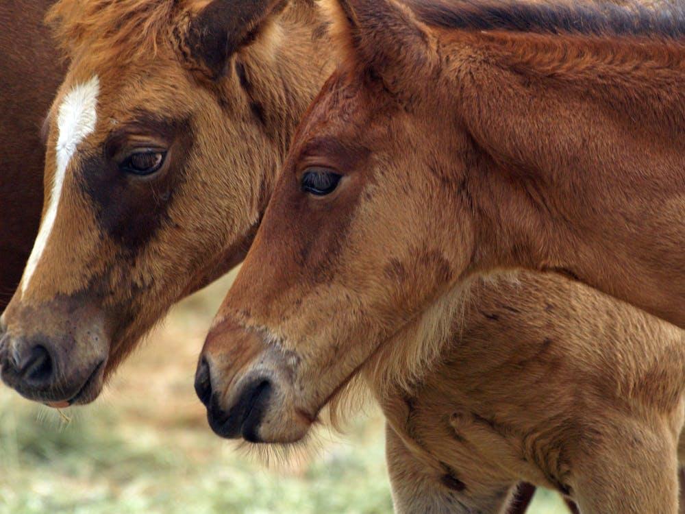 Free stock photo of animals, ponies