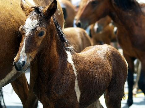 Free stock photo of animals, horses, herd, ponies