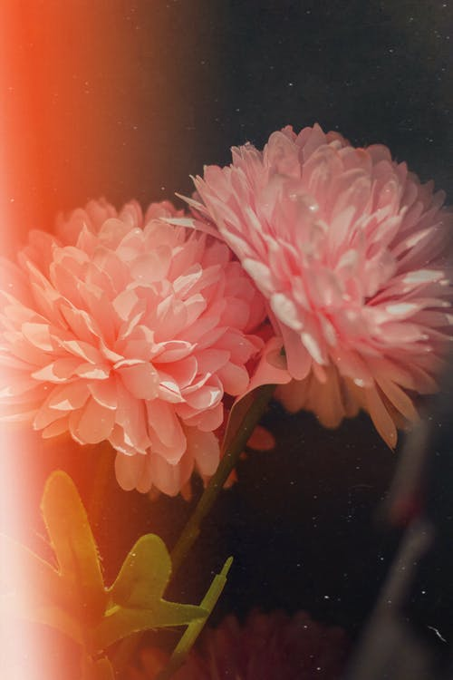 Close-Up Photo of Pink Flowers