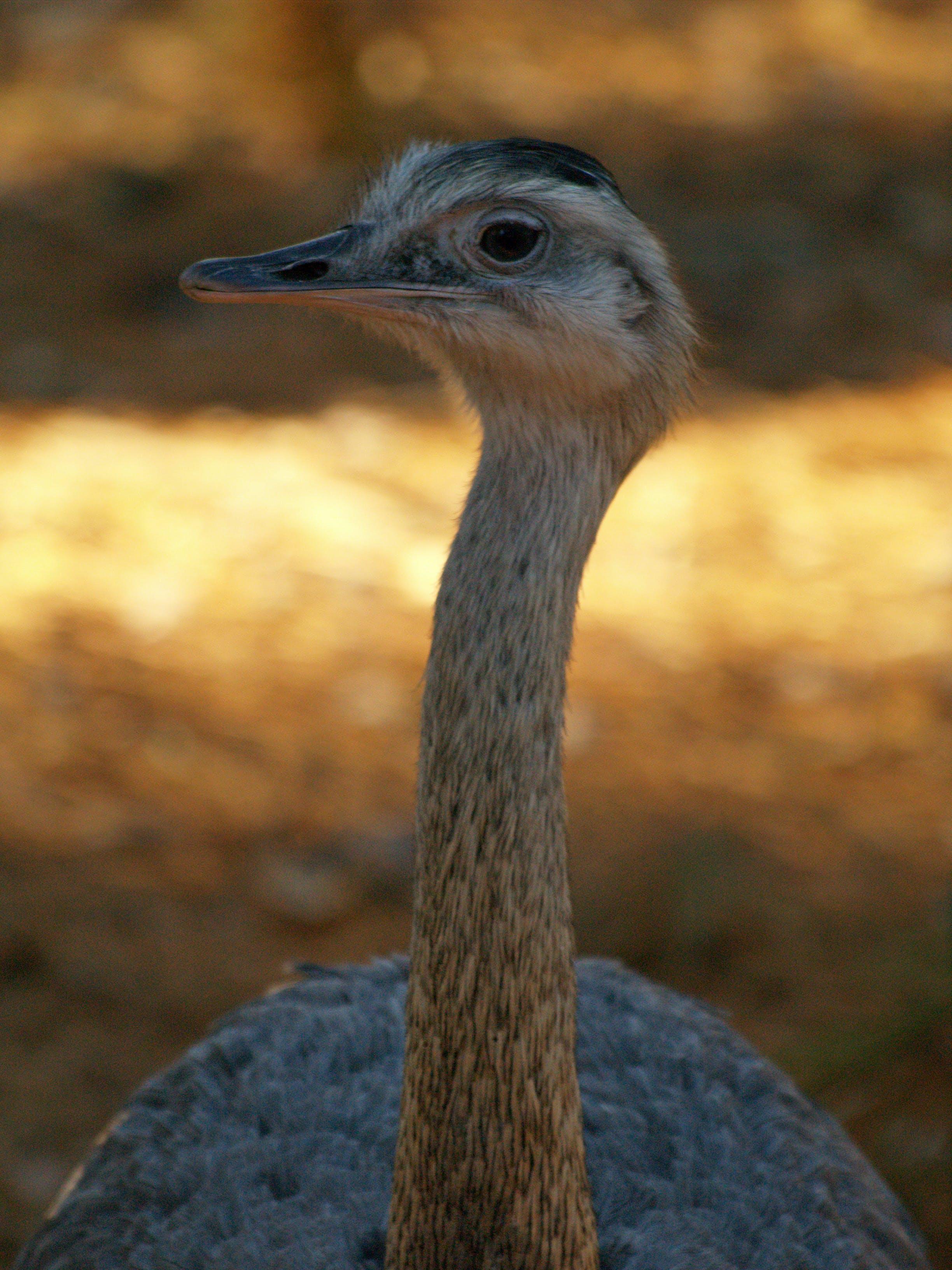 Free stock photo of animals, bird, ostrich