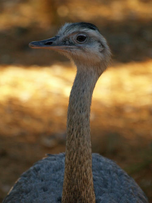 Free stock photo of animals, ostrich
